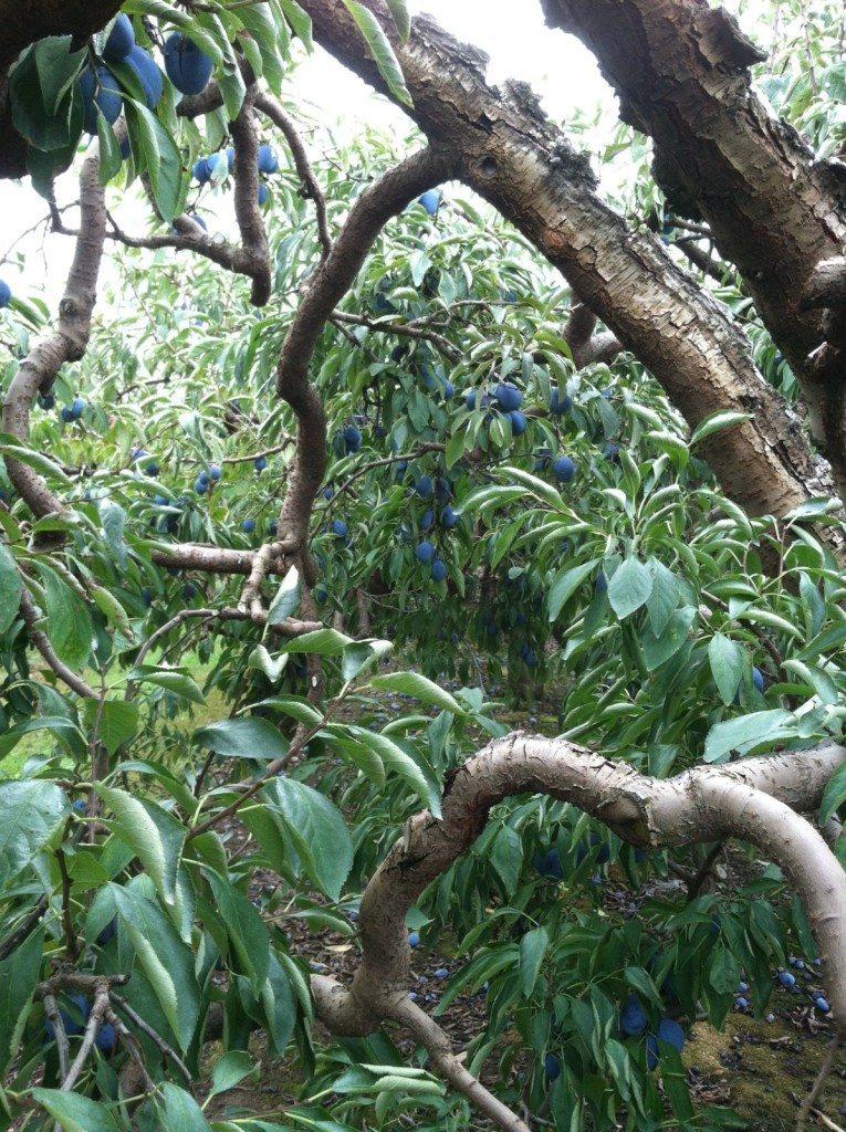 plum tree at greenbluff