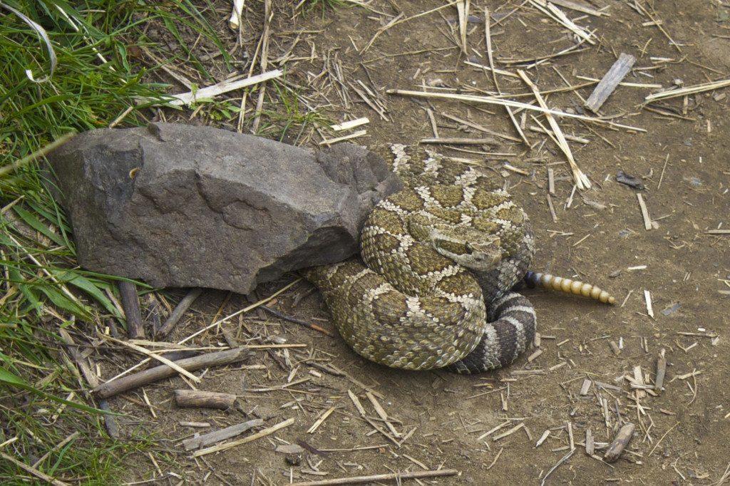 Rattle Snake At Palouse Falls